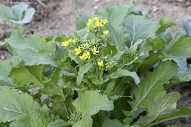 broccoli raab 2