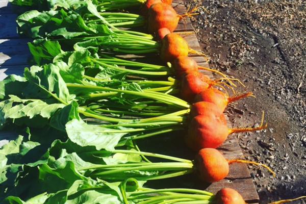 organic farm produce and vegetables, garden, kate rossetto, billings, montana
